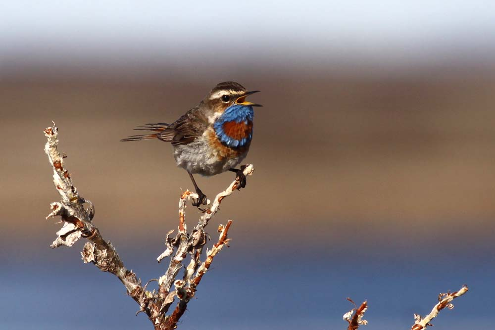 bluethroat, phot by Jochen Dierschke