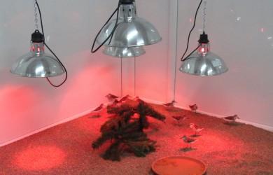 Birds under the heat lamps