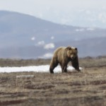 Brown bear (c) Christoph Zockler