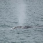 Grey whale off Meinypil'gyno (c) Christoph Zockler