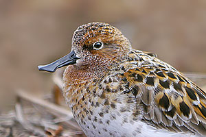 Spoon-billed Sandpiper (Martin McGill)