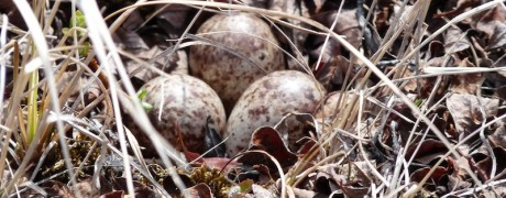 First Nest of Spoonbilled Sandpiper c Christoph Zoeckler