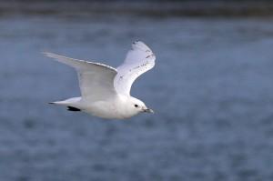 Ivory Gull c Sayam U  Chowdury