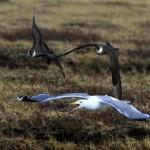 A pair of Arctic Skua chase a Vega Gull from their territory (c) Sayam U. Chowdhury