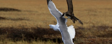 Arctic Skua chasing a Vega Gull off its turf (c) Sayam U. Chowdhury