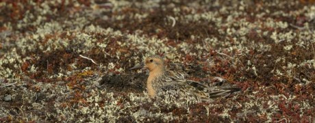 Red Knot incubating (c) Baz Scampion
