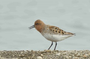 Spoon-billed sandpiper singing (c) Baz Scampion