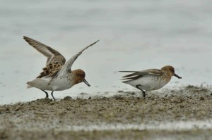 Spoon-billed Sandpiper agression (c) Baz Scampion