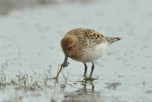 Spoon-billed sandpiper feeding on worms (c) Baz Scampion