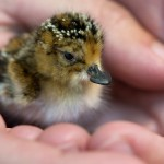 24-hour old Spoon-billed Sandpiper chick (Paul Marshall)