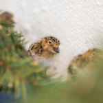 4-day old Spoon-billed Sandpiper chicks (Paul Marshall)