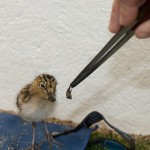 4-day old Spoon-billed Sandpiper chick being fed (Paul Marshall)