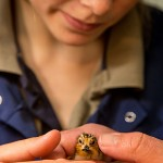 Nicky Hiscock with a Spoon-billed Sandpiper chick (Sacha Dench)