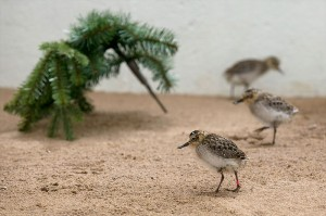 Two week old Spoon-billed Sandpiper chicks (Paul Marshall)