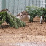 2012 spoon-billed sandpipers
