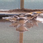 2011 spoon-billed sandpipers