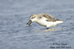 Spoon-billed Sandpiper at Rudong mudflats, China (c) Tong Menxui