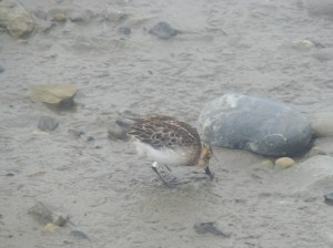 Foraging spoon-billed sandpiper post-release (c) Roland Digby
