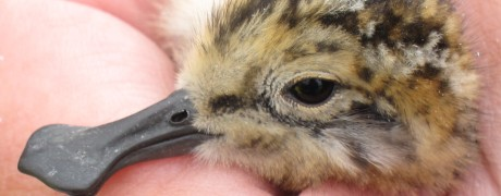 Young spoon-billed sandpiper (c) Nicky Hiscock