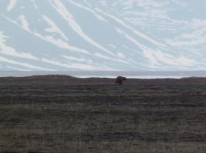 Bear, running away (c) Roland Digby