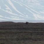 A bear, running away (c) Roland Digby