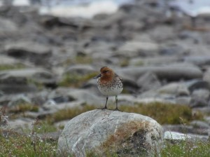 This male spoon-billed sandpiper produced six fledglings: three he reared himself and three were hand-reared (c) Roland Digby
