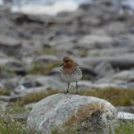 This male spoon-billed sandpiper produced six fledglings: three that were hand reared and three that he raised himself. His nest was 300 metres from the release aviary and the team watched him rear the young from his second clutch (c) Roland Digby