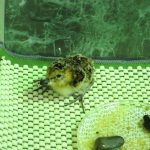 Spoon-billed sandpiper chick (c) Nicky Hiscock
