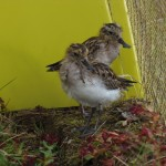Young spoon-billed sandpipers in the release pen (c) Roland Digby