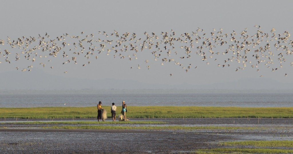 Wader flock in the Gulf of Martaban