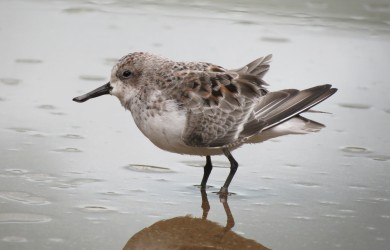 Spoon-billed sandpipers in the new communal area at WWT Slimbridge (c) Ken Tucker