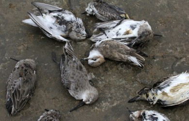 Just some of the dead and dying birds showing signs of poisoning: Red-necked Stints, Kentish and Lesser Sand Plovers, Dunlin and even a Red-necked Phalarope. Thankfully we didn't find any spoonies. For now. (c) Guy Anderson