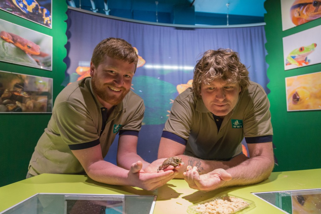 Roland and Jay at Slimbridge with a natterjack toad and wax moth larvae (c) Ed Waldron WWT