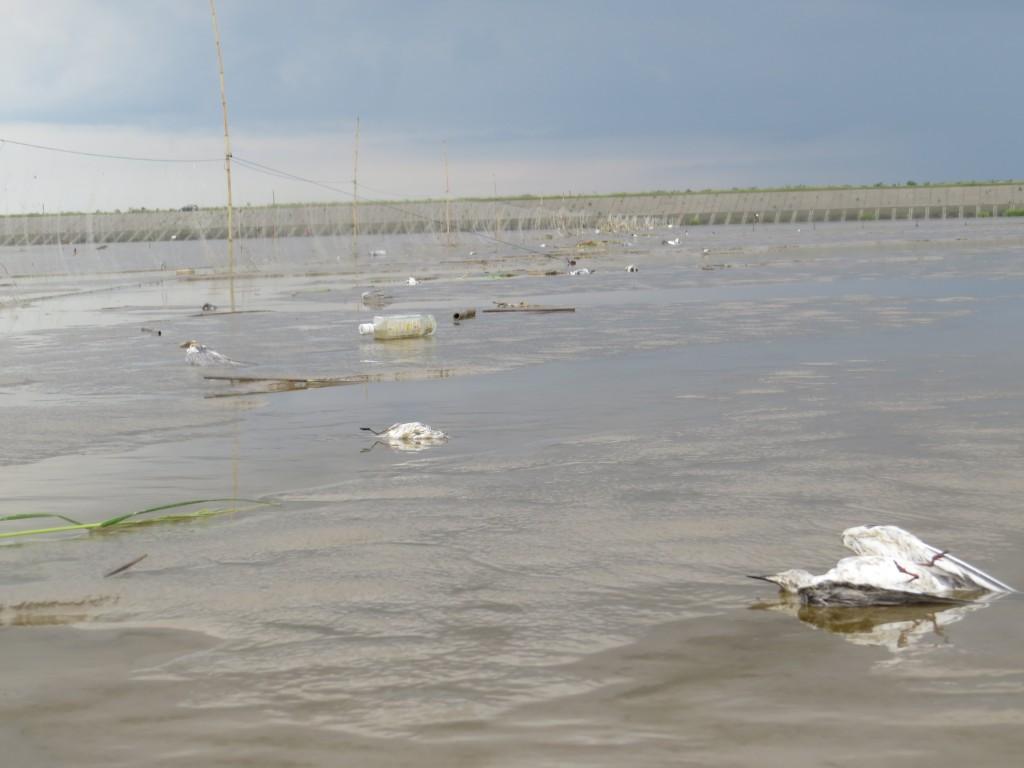 Dead birds thrown away © Nigel Clark (BTO) and Jing Li (SBS in China)