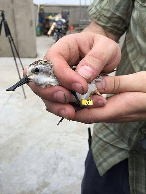 Spoon-billled sandpiper in hand © Nigel Clark (BTO) and Jing Li (SBS in China)