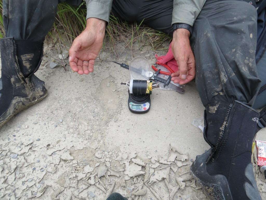 Spoon-billed sandpiper being weighed © Nigel Clark (BTO) and Jing Li (SBS in China)