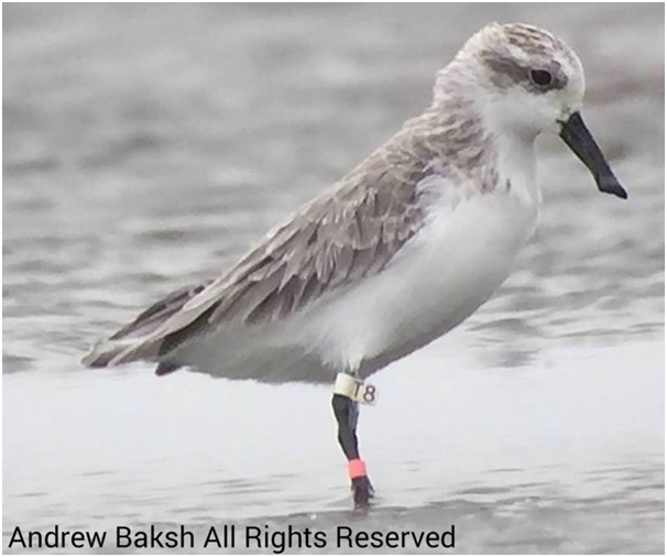 2014 bird White T8 observed on 22 September at Dongling China Andrew Baksh