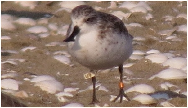 White U9 observed 15 October Yuboo-Island tidal flat S Korea now in winter plumage Yung-Ki Ju