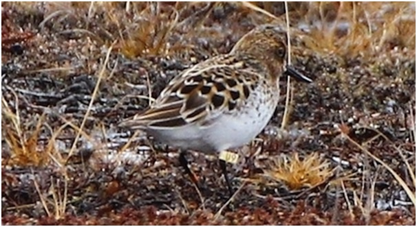 White U9 observed 9 June in full summer plumage Meinypil'gyno Chukotka Alexander Nastachenko