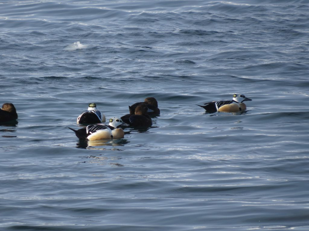 Steller's eiders, Norway, March 2016 (Kane Brides/WWT)