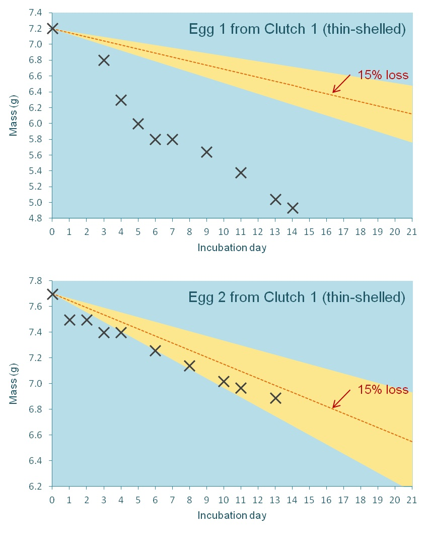Weight loss graphs for the two thin-shelled eggs in clutch 1.