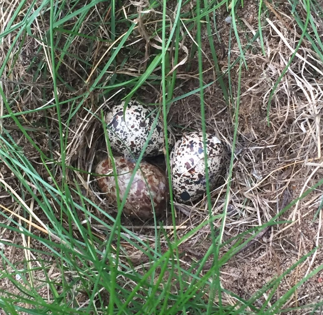 Nest of the second pair containing two dummy eggs and one freshly laid Spoon-billed Sandpiper egg, this pair's fifth. Photo by Tanya Grigg.