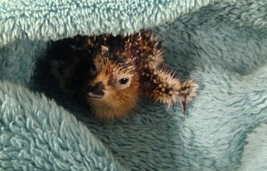 First chick keeping warm on hatch day, 2 July 2016. Photo by Nicola Hiscock/WWT.