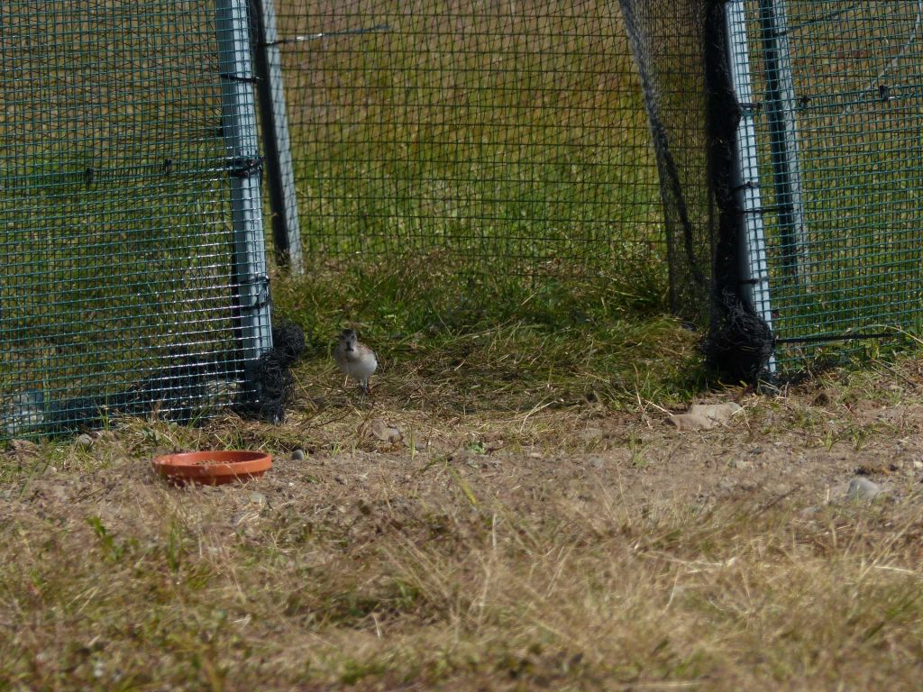 The first Spoon-billed Sandpiper to leave the release aviary, 26 July 2016. Photo by Roland Digby/WWT.