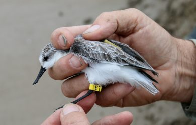 One of the three Spoon-billed Sandpipers fitted with a satellite tag at Tiaozini, October 2016