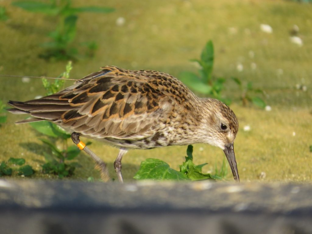 One of the captive bred Dunlin which had been tagged with a dummy tag in March 2016 while in winter plumage. The photo was taken in early June. Photo by Nigel Clark.