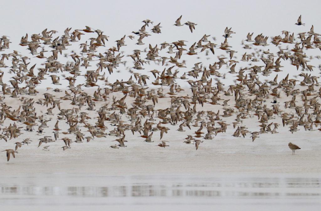 Wader flocks at Tiaozini mudflats, Jiangsu Province, China. Photo by Guy Anderson.