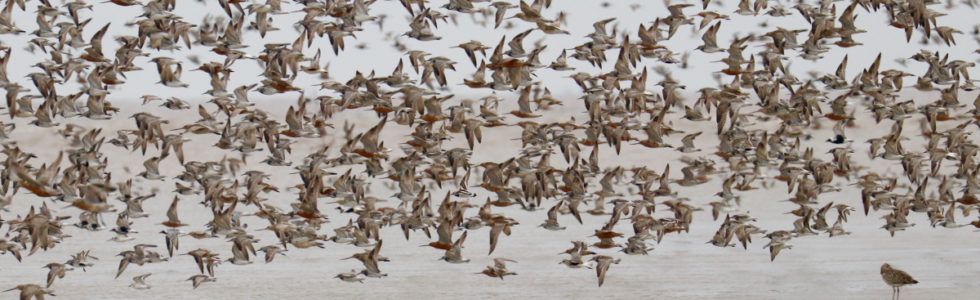 Wader flocks at Tiaozini mudflats, Jiangsu Province, China. Photo by Guy Anderson.