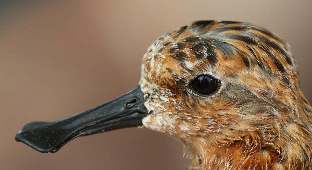 Spoon-billed Sandpiper, XT, resplendent in summer plumage. Photo by Guy Anderson.
