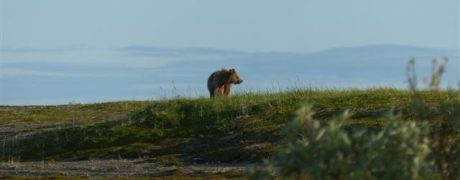 Obligatory bear photo from the Monument Marsh, 18 July 2017. Photo Roland Digby/WWT.